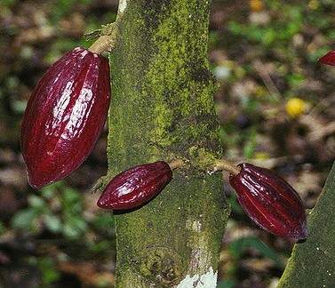 cacaoyer fruits theobroma cacao