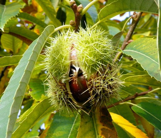 chataigner castanea sativa fruit