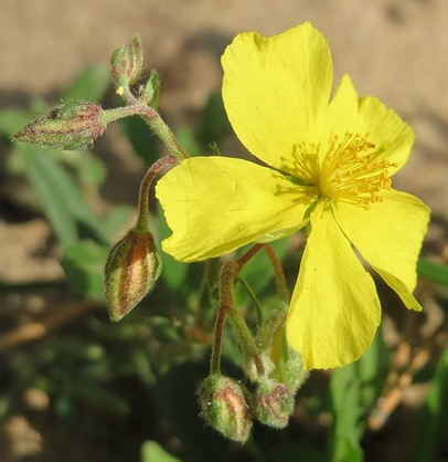 heliantheme helianthemum nummularium
