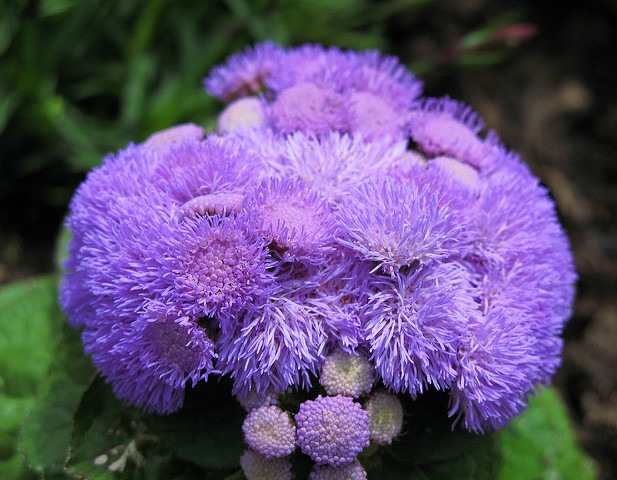 Crédit photo © TANAKA Juuyoh (田中十洋) - flickr.com - Ageratum houstonianum (Agérate du Mexique)