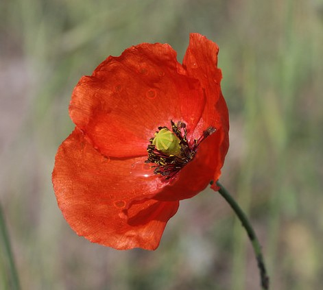 Crédit photo © Björn S... - flickr.com - Coquelicot (Papaver rhoeas)