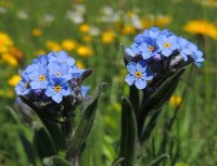 Crédit photo © xulescu_g - flickr.com - Myositis des Alpes (Myosotis alpestris)